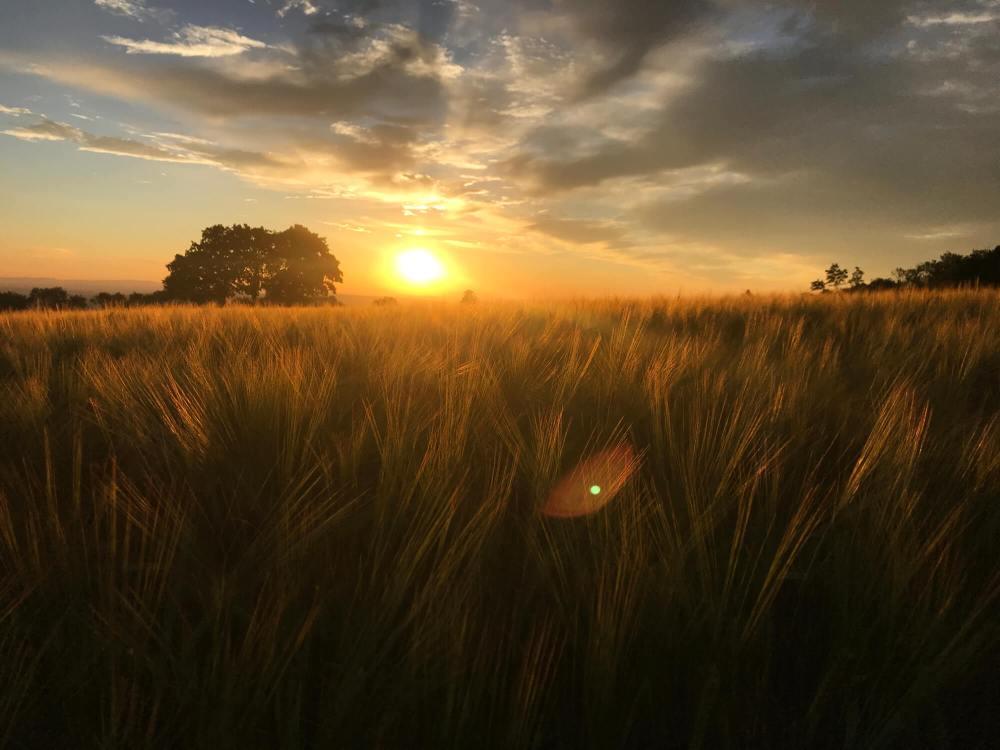 Little Sunrise Wheat